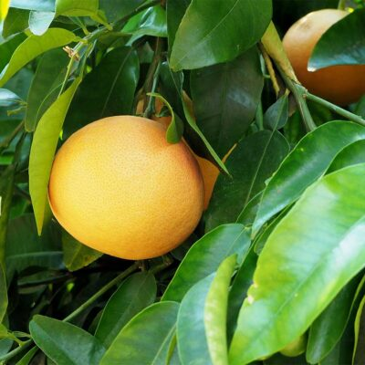 square-image-by-scent-2021-grapefruits