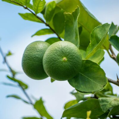square-image-by-scent-2021-limes